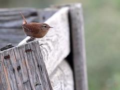 Scricciolo (Troglodytes troglodytes) (Paolo Bertini) Tags: scricciolo troglodytes wren boscomantico verona birdwatching birding