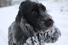 Golden  Moment  this  Morning (excellentzebu1050) Tags: dog doggy closeup cockerspaniel cocker spaniel pet snow animalportraits animal dogportrait coth5 sunrays5