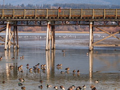 Mallards on thin ice at the wharf in Salmon Arm, BC. Notice the Trumpeter swans in the background. (clive_bryson) Tags: mallards thinice salmonarm shuswap britishcolumbia canada wharf shuswaplake trumpeterswans clivebryson