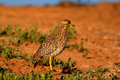 (soetendaal) Tags: southafrika addoelephantpark za wildlife nature zuid afrika national park port elizabeth garden route eastern cape bird birds aves animal animali pájaro oiseau