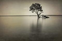 How Can this Be Fair DSC_2498 (BlueberryAsh) Tags: mangroves tenbypoint longexposure monochrome blackandwhite tree ocean water nikond750 nikon24120 filters nd bigstopper 15stops beach art