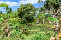 A Wild Pond (NguyenMarcus) Tags: aasia flowers beach worldtracker vietnam landscape nature phúquốc kiêngiang vn