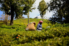Tea garden.Ooty.India (VincenzoMonacoo) Tags: canon 6d tamron 2470 india tamil nadu ooty tea adventure travel leica nikon