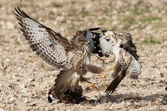 Buzzard feeding Oct 2018 (jgsnow) Tags: yellow bird raptor buzzard feeding conflict aggression