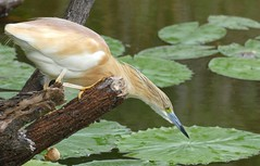 Squacco Heron (Ardeola ralloides) hunting ... (berniedup) Tags: squaccoheron ardeolaralloides heron taxonomy:binomial=ardeolaralloides bird lakepanic kruger