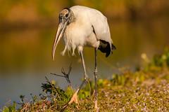 Bigfoot's cousin (ChicagoBob46) Tags: woodstork stork bird sanibel sanibelisland florida nature wildlife ngc coth naturethroughthelens coth5 npc