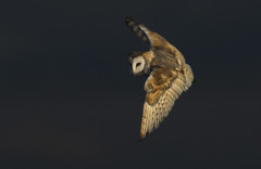 Owl with 'Menace' (Ann and Chris) Tags: avian amazing awesome barnowl beautiful eye flying gorgeous shadow impressive incoming looking owl stunning unusual wildlife wild wings