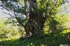 Centenario. (Howard P. Kepa) Tags: cantabria bustillodelmonte bosquederobles monte arboles