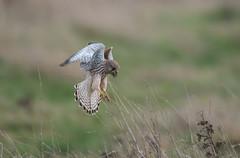 Kestrel Burwell Fen-5882 (seandarcy2) Tags: bif falcon birdsofprey raptors kestrel fenland cambs uk handheld