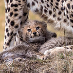 3rd - PDI. League 3 - 3 week old Cheetah Cub June Sparham by JUNE SPARHAM