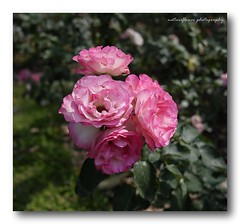 Pink family. (natureflower photography) Tags: pink family roses flowers blooming garden