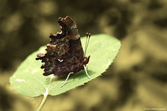 Robert-le-Diable (TIOGRIS (Clém VDB)) Tags: papillon insect butterfly macro nature composition 2018 polygoniacalbum robertlediable farfalle
