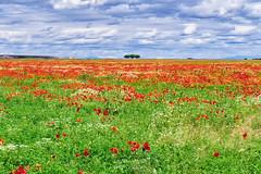 CAIDA DE LA NEGRA (jramosvarela) Tags: amapolas bardena sembrados caidadelanegra campos rojo verde fields