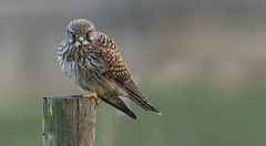 Kestrel (Wild) - 1/50th second., I just love black clouds! (Ann and Chris) Tags: avian bird beautiful close eyes feathers falcon gorgeous impressive kestrel looking predator raptor wildlife wild