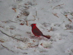 IMG_3170 12-24-2018 (PGK88) Tags: cardinal bird snow winter cold snowy animal wildlife nature weather red white 2018 365 pgk88