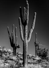 Saguaro-8599 (TheBrokePhotographer.Blog) Tags: arizona cactus desert landscape nature northamerica phoenix rocks saguaro unitedstates summer winter cold dry hot sonoran arid sonora hiking tourism tourist travel adventure blackandwhite mono monochrome cowboy alone lonely three dark high contrast hard light