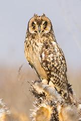 Nuco (mths_jcb_dnnr) Tags: asio flammeus nico shorteared owl