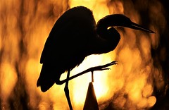 Warm Wishes (danny.mayan1386) Tags: bombayhook egret silhouettephotography sunrise