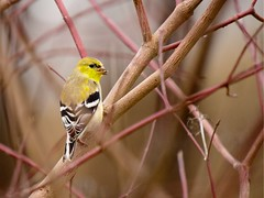 American goldfinch (CU TEO MD) Tags: bird thewildlife wildlife maryland outdoor nature branch tree ngc twop soe artofimages leica100400mm panasonicleica100400mm panasonicg9