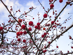 red among the blues (jojoannabanana) Tags: 3652018 berries bluesky branches canonpowershot closeup clouds detail red sd1300 snow tree winter