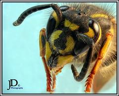 Common Yellowjacket- Vespula alascensis portrait-1 (john dyble) Tags: wasp insect yellowjacket vespulaalascensis wasphead waspcloseup jaws