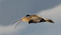 Curlew F00597 Glasson D210bob DSC_6099 (D210bob) Tags: curlew f00597 glasson d210bob dsc6099 nikond7200 birdphotography birdphotos naturephotography naturephotos nikon wildlifephotography rspb nikon200500f56