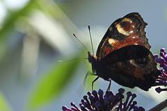Tagpfauenauge / Peacock butterfly (Aglais io) (uwe125) Tags: