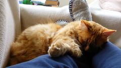 Cats (Sandy Austin) Tags: panasoniclumixdmcfz70 sandyaustin massey westauckland auckland northisland newzealand cat mario