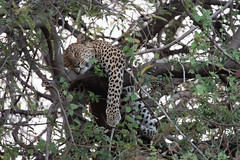 Snoozing (Tris Enticknap) Tags: southluangwa zambia africa chiphadzuwa africanleopard cat pantherapardus pantheraparduspardus leopard