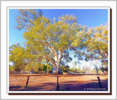 Eucalyptus Tree, Wilpena Homestead, Wilcolo Track, Flinders Ranges, South Australia (Stuart Smith AUS) Tags: aus australia eucalyptustree explore flindersranges geo:lat=3151275167 geo:lon=13861276833 geotagged gumtree httpstudiaphotos outback remote southaustralia stuartsmith stuartsmithstudiaphotos studiaphotos tree wilcolotrack wilpenahomestead wilpenastation wonderful wwwstudiaphotos