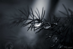 Después de la lluvia... (Leticia Lukaszewicz) Tags: canon gotas lluvia naturaleza byn monocromo drops raindrops rain macro