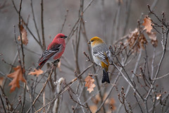 Pine Grosbeak Pair (NicoleW0000) Tags: pinegrosbeak bird birds finch winterfinch outdoor winter colours colourful color colorful red yellow