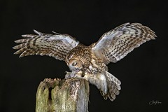 Tawny Owl perfect balance (1 of 2) (andy_harris62) Tags: inexplore explored tawnyowl night outdoors bif birdofprey birdinflight nikon nikond850 nikkor300mmf28 bird