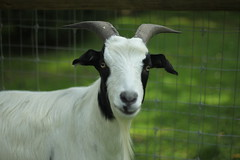 Boo the Fainting Goat