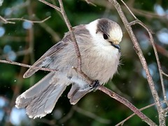 Gray Jay - another first for me!!!!! (Meryl Raddatz) Tags: bird nature canada naturephotography