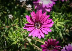 Violet daisy (Peter.Stokes) Tags: australia australian colour nature outdoors photo photography flower flowersplants flora native garden landscapes violet daisy