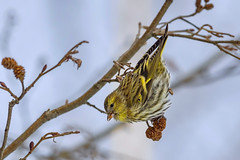Чиж, Spinus spinus, Siskin (Oleg Nomad) Tags: чиж spinusspinus siskin птицы фотоохота москва bird aves moscow