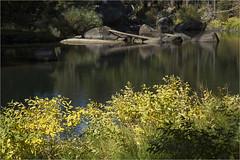 Morning Light on the River, Fall (marlin harms) Tags: fallcolor mercedriver apocynumcannabinum indianhemp reflections yosemite