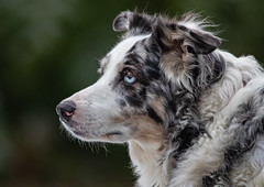 Australian Shepherd (Lynn Tweedie) Tags: ef400mm56lusm australianshepherd 7dmarkii dog gray canon eos eye white animal
