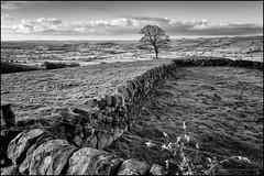 Staffordshire fields (G. Postlethwaite esq.) Tags: bw staffordshire blackandwhite drystonewall fields grass landscape monochrome outdoor photoborder sunrise theroaches trees