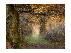 Magical Savernake (pixellesley) Tags: woodland forest ancient mist light autumn colour sunlight savernake fineartphoto lesleygooding