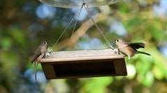 Tufted Titmice (mausgabe) Tags: olympus em1 olympusm40150mmf28 olympusmc14 nyc centralpark theramble bird thefeeders titmouse tuftedtitmouse titmice tuftedtitmice