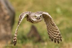 Burrowing Owl 501_2672.jpg (Mobile Lynn) Tags: birds owlsrelatives owl burrowingowl nature athenecunicularia bird fauna strigiformes wildlife nocturnal inflight flying flight coth specanimal ngc coth5 npc