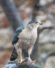 Cooper's Hawk (Gene Mordaunt) Tags: bird wildlife hawk coopershawk backyard toronto feeding nikon810