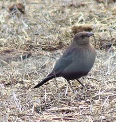 Brewer's Blackbird (f) (Scott Severn) Tags: ebparksok brownheaded cowbird