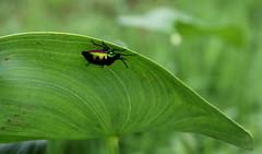 Bug (amitava.das) Tags: nature bugs outdoor beetle india ladybug macro green tiny new