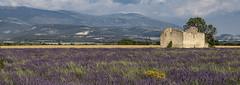 Provence et Lavande 02 (laurentconstantthierry) Tags: provence lavande valensole