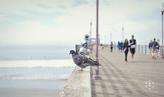 Pigeon (Zara Calista) Tags: ocean pigeon light soft nikon bokeh sandiego oceanside california ca pier