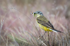 Yellow wagtail (JS_71) Tags: nature wildlife nikon photography outdoor 500mm bird new see natur pose moment outside animal flickr colour poland sunshine beak feather nikkor d7500 wildbirds