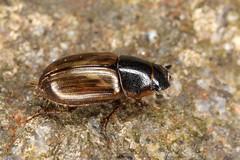 Melinopterus sp. (chug14) Tags: macro insect nature animalia arthropoda hexapoda insecta coleoptera scarabaeoidea aphodiidae aphodiinae melinopterus